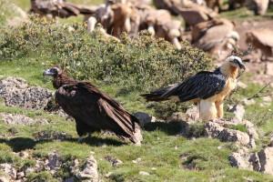 El Trencalòs i el Voltor Negre poden viure bé a l'Alta Garrotxa.foto Jordi Sargatal